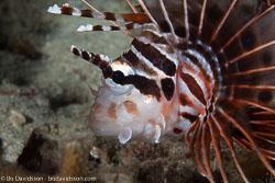 BD-140314-Padre-Burgos-2022-Pterois-antennata-(Bloch.-1787)-[Broadbarred-firefish].jpg